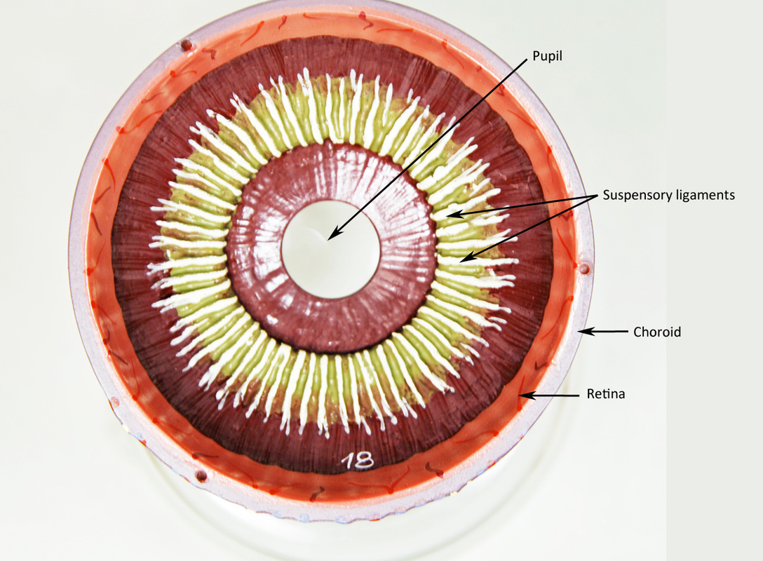 Eye - HUMAN ANATOMY WEB SITE