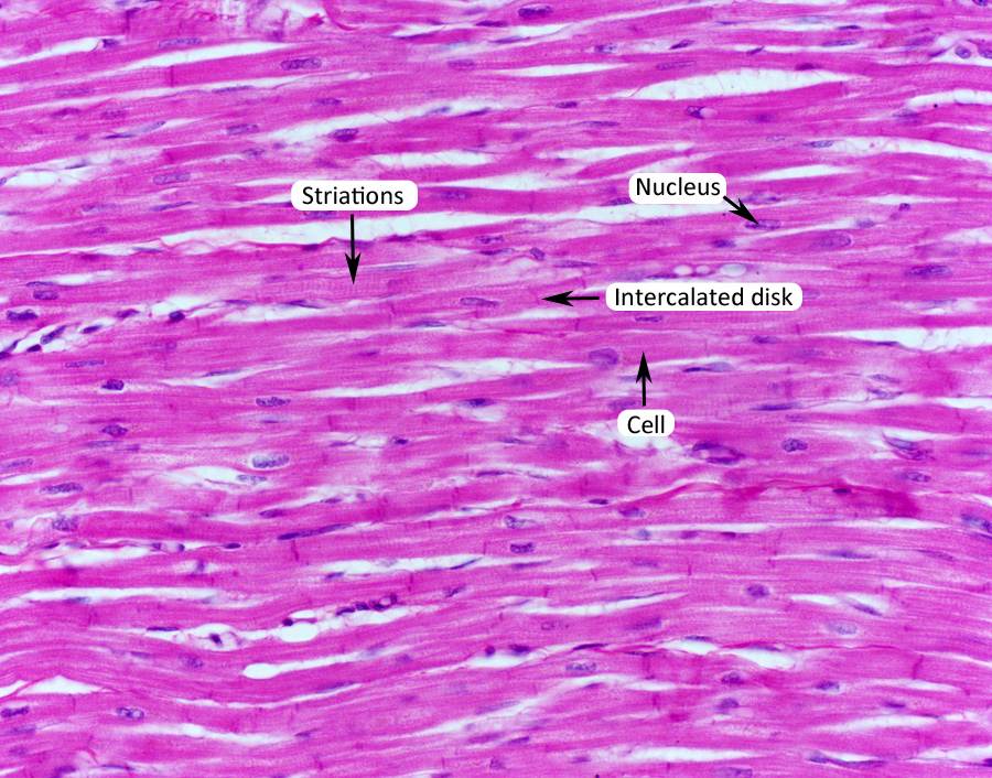 Muscle Tissue Human Anatomy Web Site